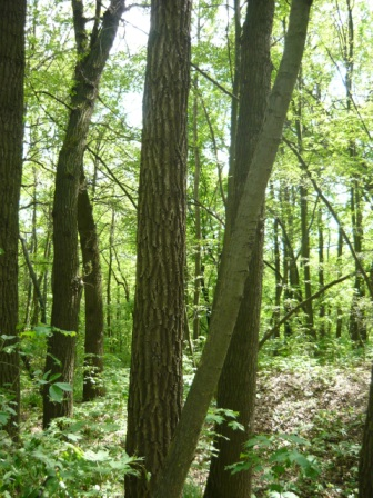 Лес на Лысой горе.